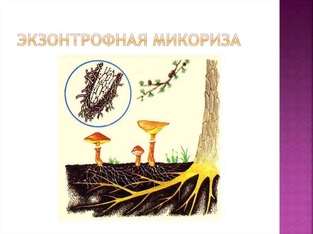 Грибы способны образовывать микоризу с корнями. выращивание микоризных грибов. загадочный мир грибов