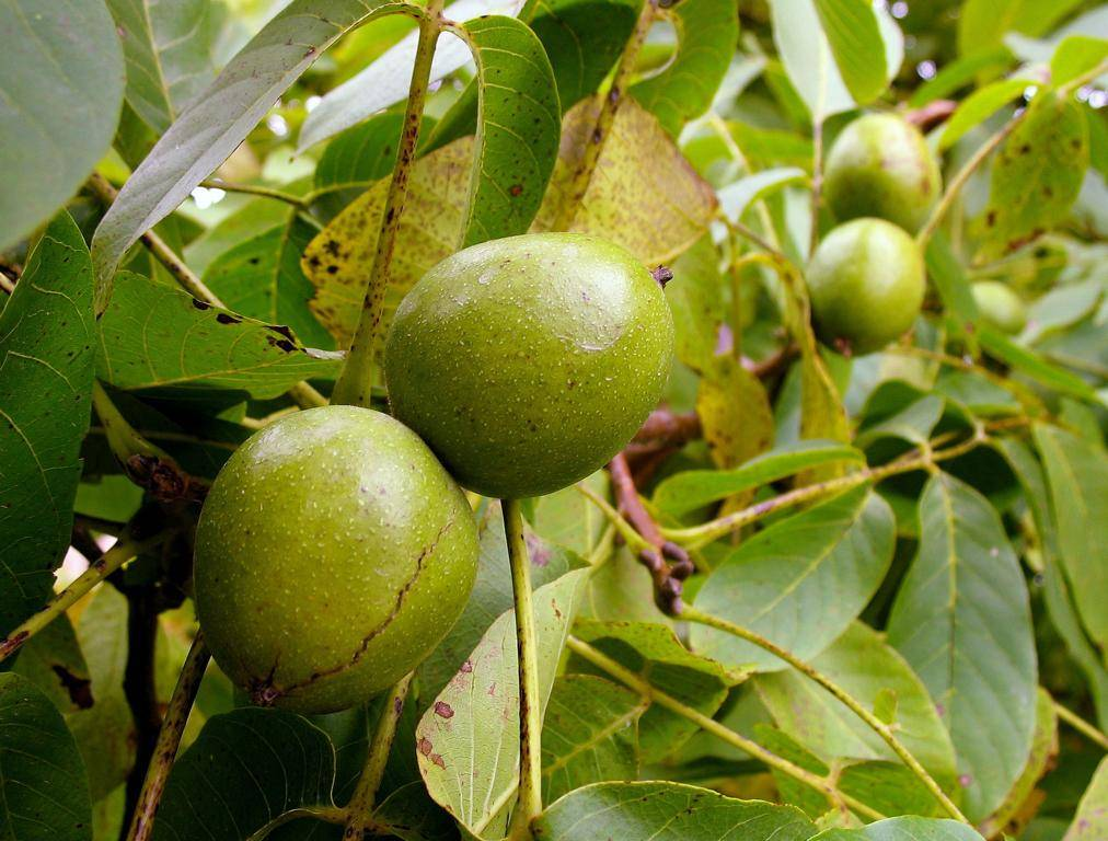 Скороплодный грецкий орех на участке - выращивание и уход