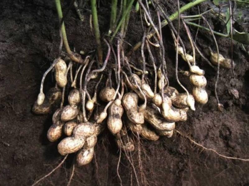 Где растет арахис, его польза и вред для женщин и мужчин + фото