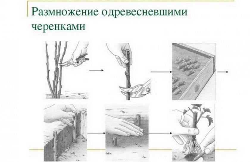 Как размножать грецкий орех