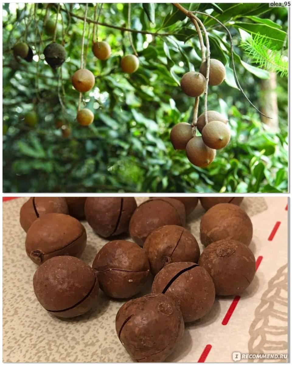 Орех со вкусом шоколада и шоколадным запахом (макадамия) — все названия, описание, фото