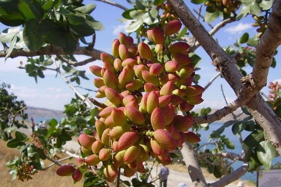 Где и как растут фисташки, описание дерева, вид плодов, переработка