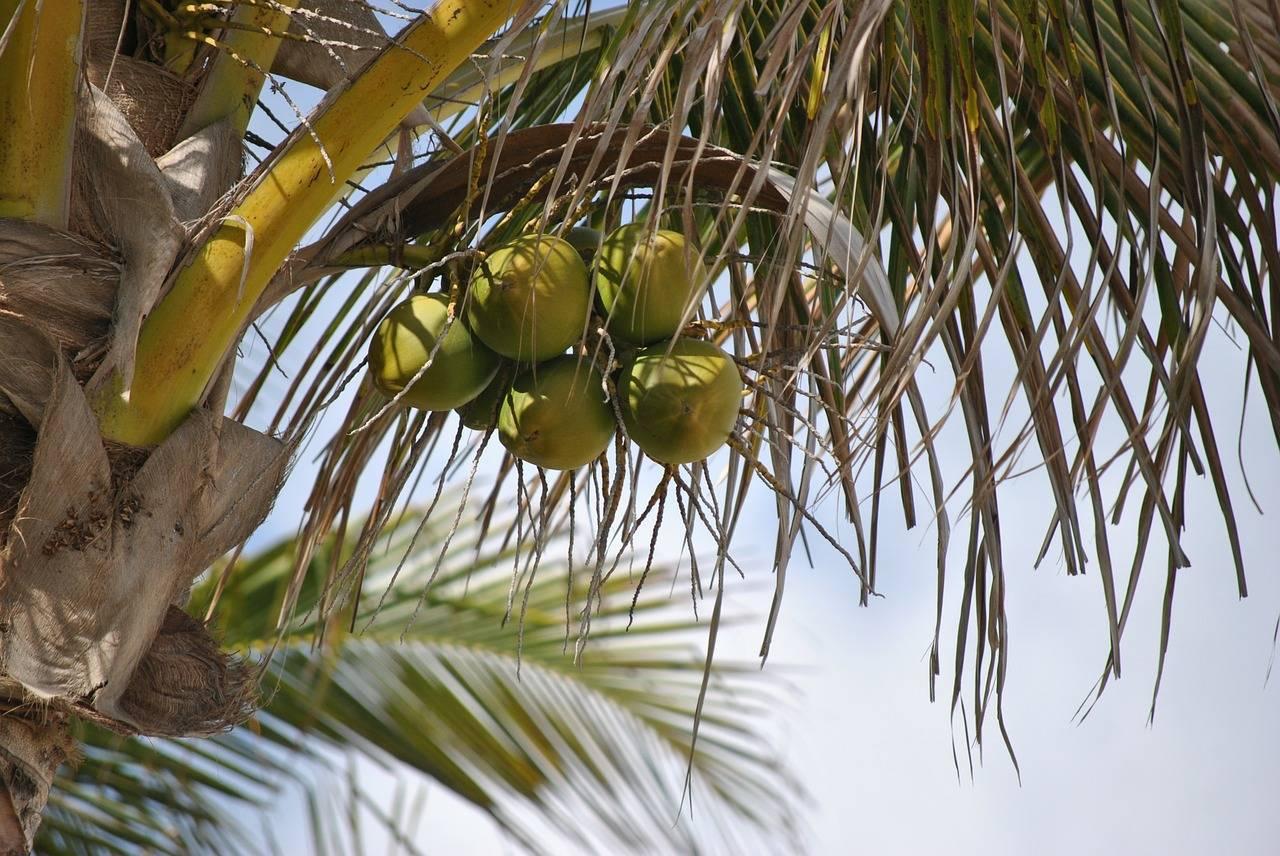 Кокосовое дерево ― кокос нуцифера