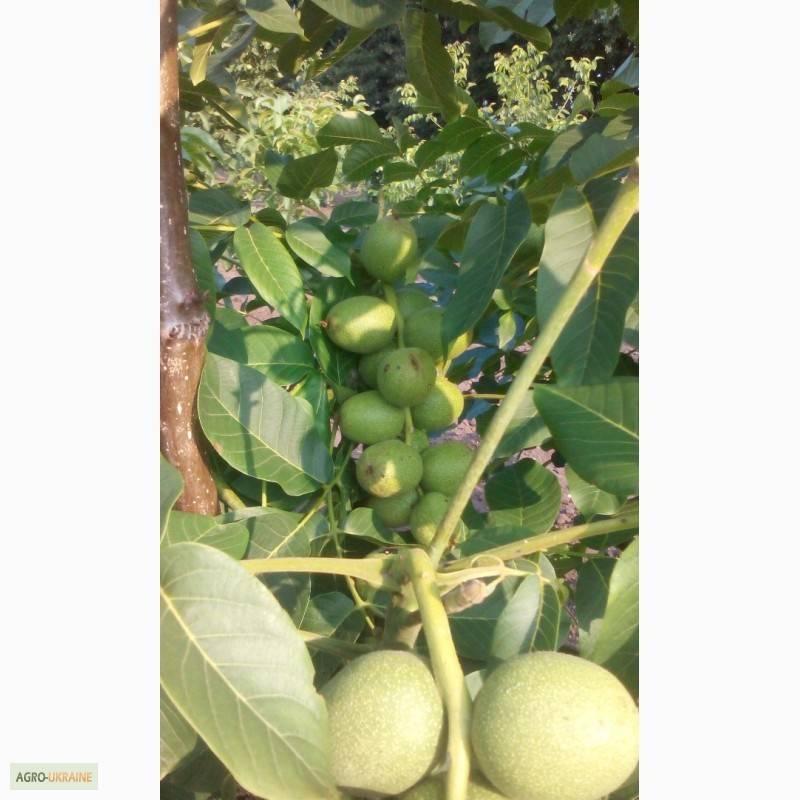 Комбинированный сад: грецкий орех + груша. экономические преимущества