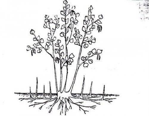 Размножение фундука черенками: способы рассаживания, черенкование в домашних условиях