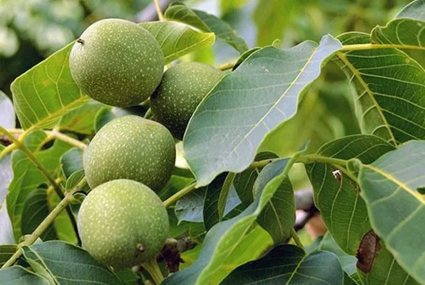 Грецкий орех: выращивание в подмосковье, сорта, правила посадки и уход