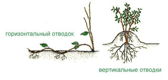 Размножение – фундук.рф