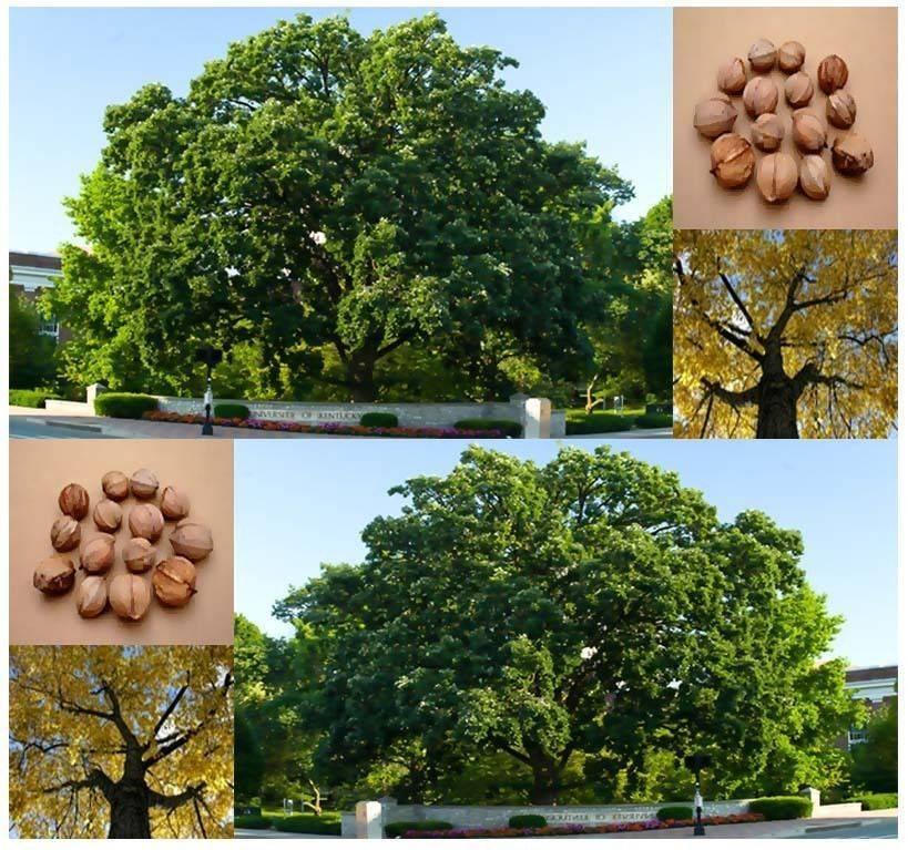 Хвойное дерево араукария: описание видов, выращивание, уход в домашних условиях, размножение растения