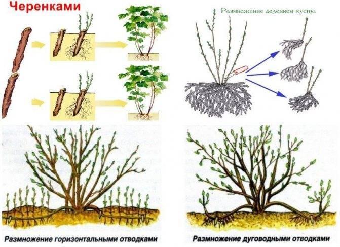 Размножение фундука черенками
