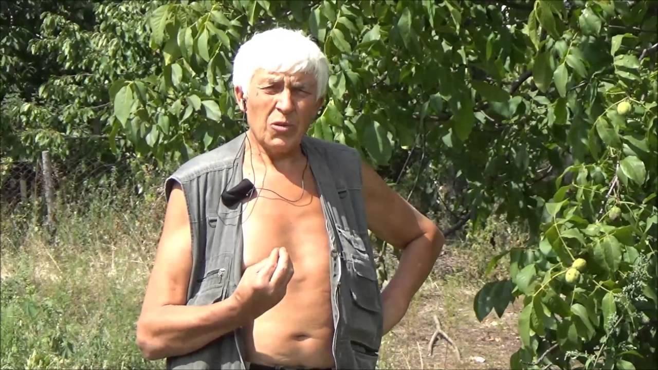 Вирус ВСЛЧ и его пагубное влияние на состояние орехового дерева