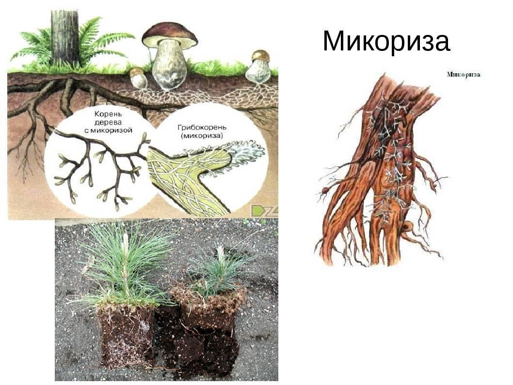 Как вырастить микоризу самостоятельно