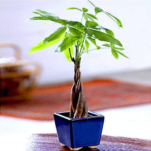 Советы по выращиванию тропического дерева пахиры в домашних условиях