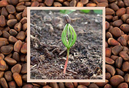 Проращивание кедра из семян в домашних условиях