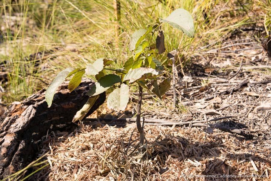 Выращивание ценных орехоплодных пород на древесину