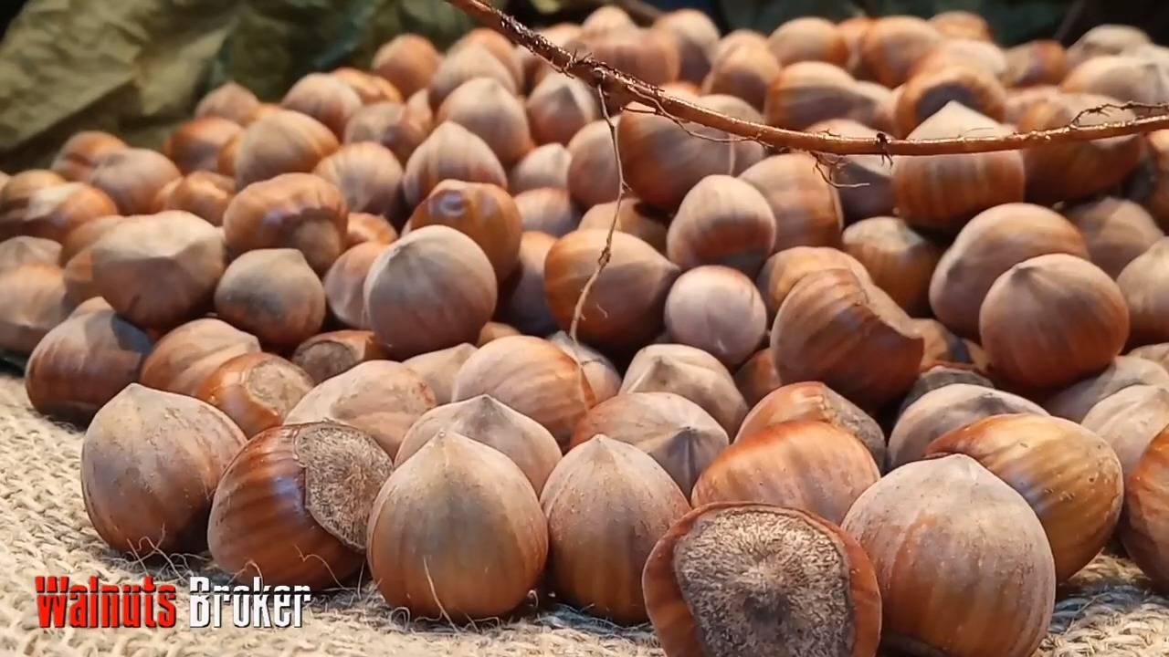 Как самому вырастить фундук: выращивание из ореха в домашних условиях и на даче - фермерский сайт как самому вырастить фундук: выращивание из ореха в домашних условиях и на даче - фермерский сайт