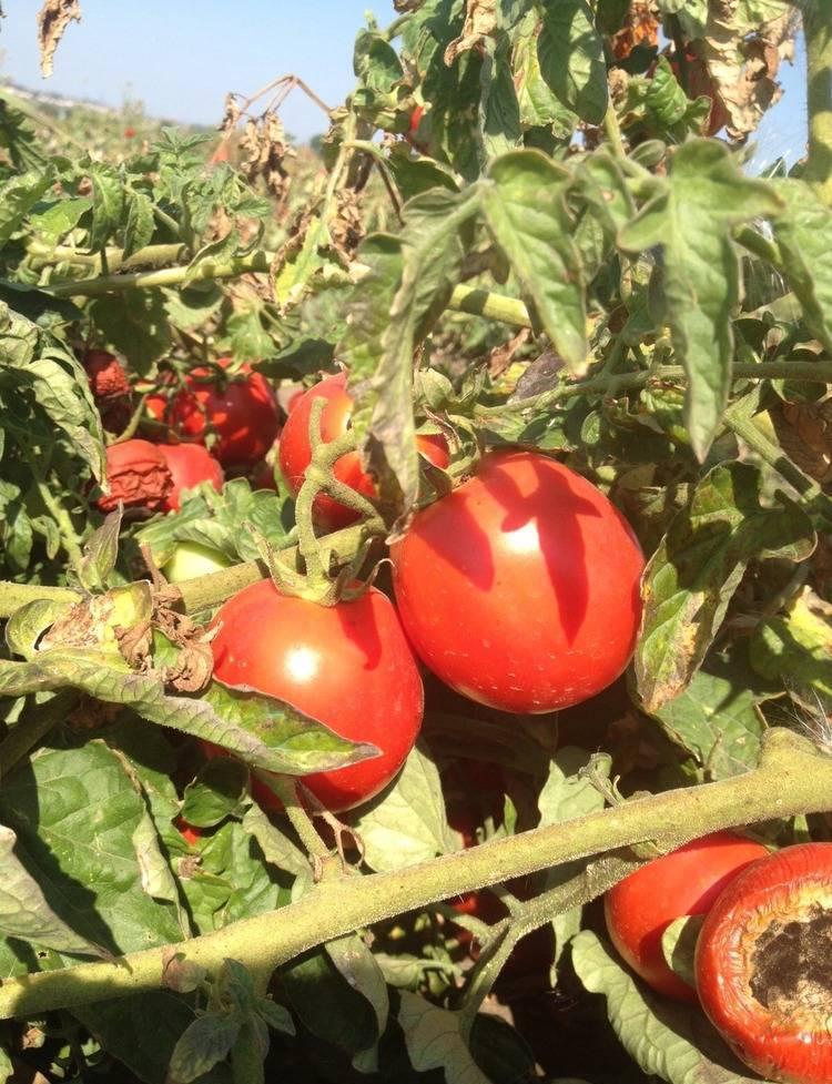 Томаты для красноярского края лучшие сорта. томаты — лучшие сорта для открытого грунта