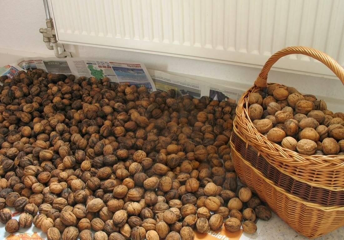Как хранить макадамию правильно: условия содержания дома неочищенных орехов и ядер без скорлупы, а также сколько составляет максимальный срок их годности?