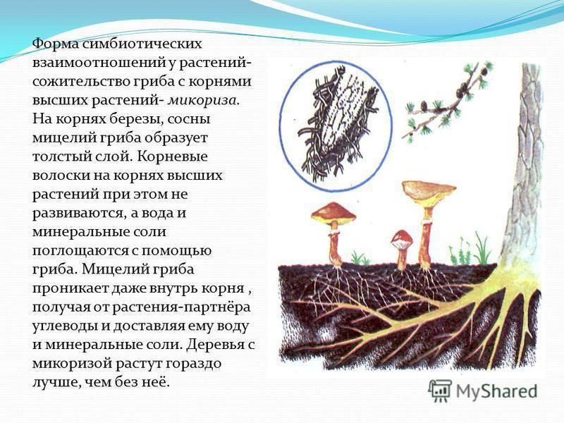 Что представляет собой микориза и как она влияет на почву и растения - огород, сад, балкон - медиаплатформа миртесен
