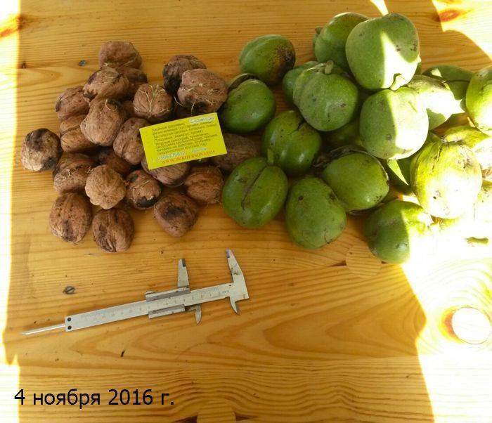 Описание и характеристики 35 лучших сортов грецкого ореха, посадка и уход