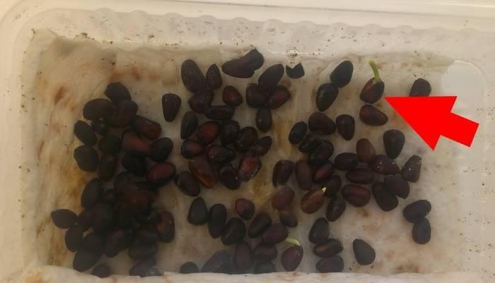 Трудоемкий процесс выращивания дерева из кедрового ореха: как прорастить и посадить в домашних условиях?