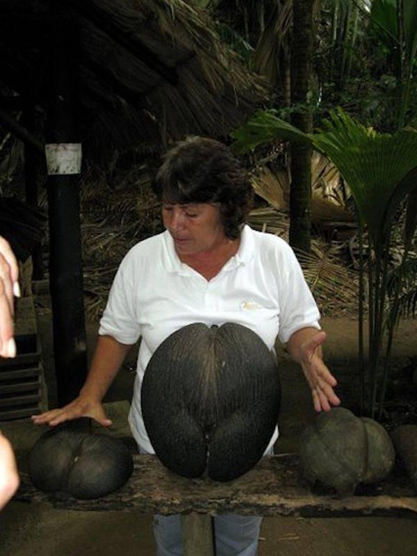 Сейшельский орех - описание, полезные и вредные свойства, состав, калорийность, фото