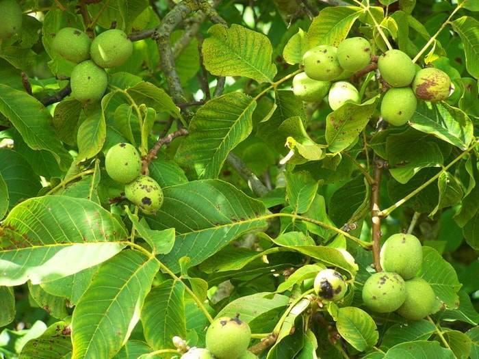 Комбинированный сад: грецкий орех + груша. экономические преимущества — портал ореховод