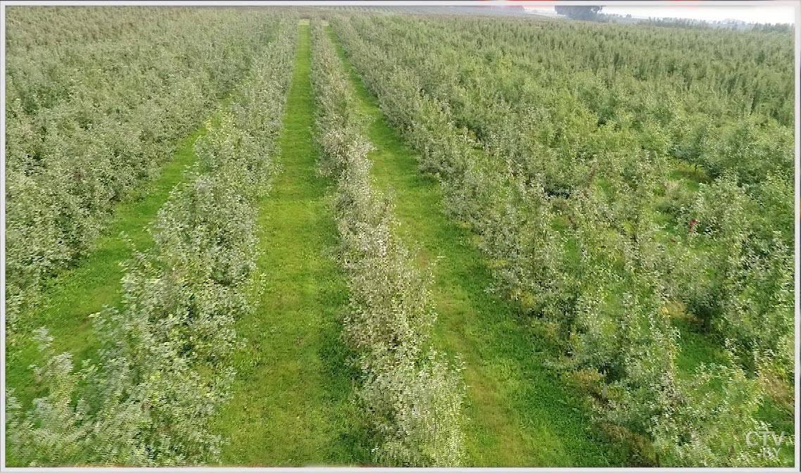 Посадка грецкого ореха, правильная посадка орехового сада в украине — пропозиція