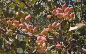 Фисташковое дерево и выращивание в домашних условиях