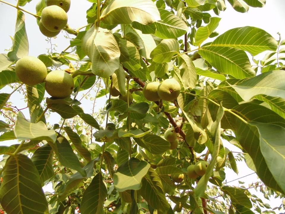 Когда начинает плодоносить грецкий орех?