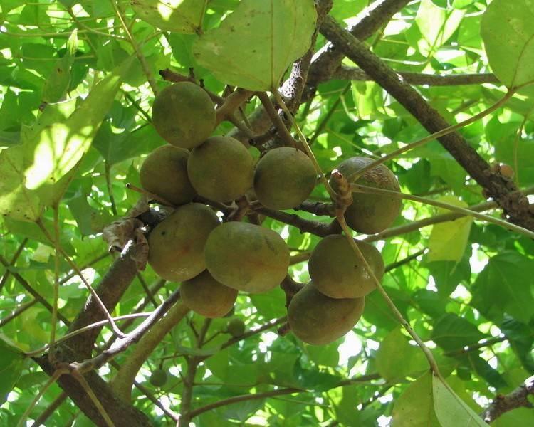 Орех кукуи польза и вред: полезные свойсва масло дерево кукуй - орех эксперт