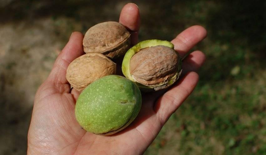 Зеленый грецкий орех: полезные свойства и противопоказания, применение, отзывы