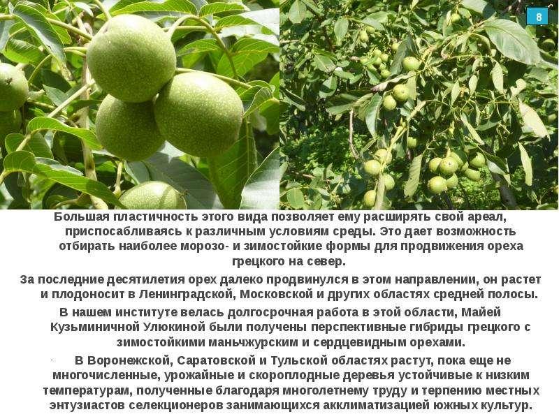 Как и где растет грецкий орех? особенности, страны и интересные факты