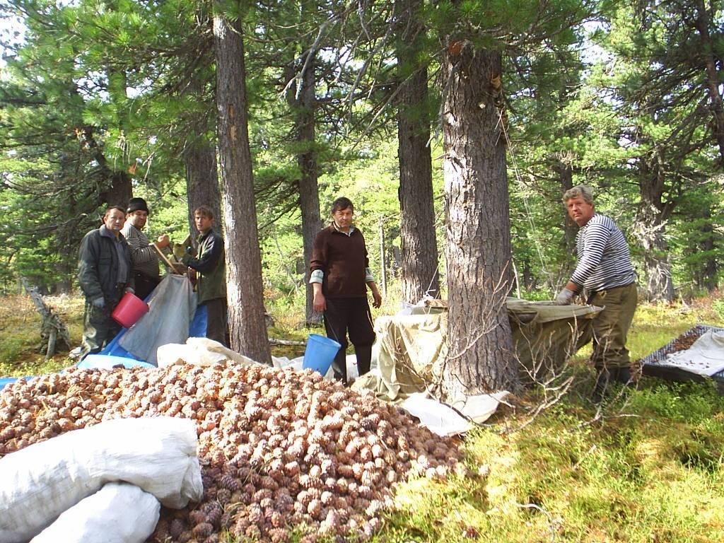 Время сбора миндаля: в какие сроки созревает и когда можно собирать, как срывать с дерева для заготовки, технология очистки и хранение урожая