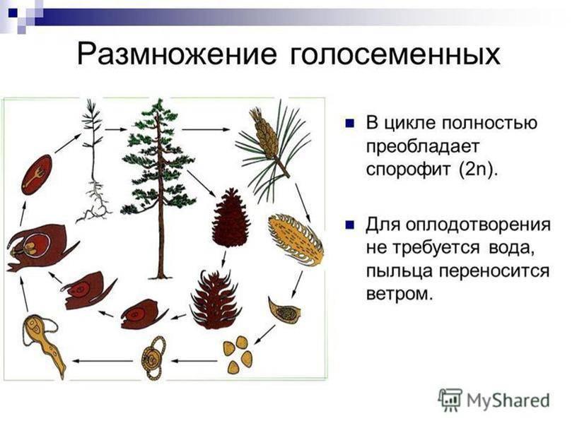 Семейство лещиновые (corylaceae)