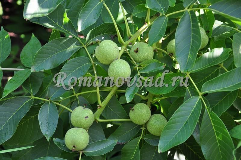 Скороплодный грецкий орех сорт кочерженко описание - сад и огород