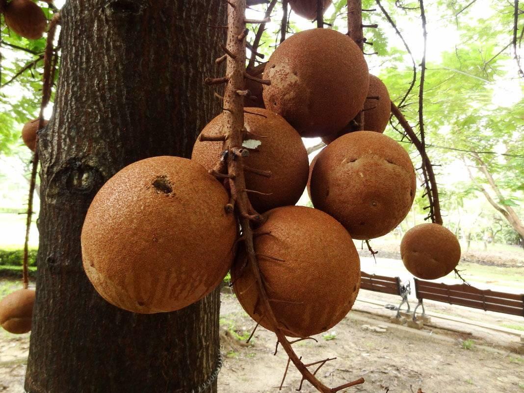 Бразильский орех: полезные свойства и противопоказания