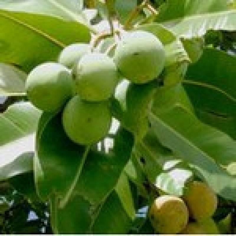 Орех кукуи — описание, польза и вред, состав, калорийность, способы приготовления