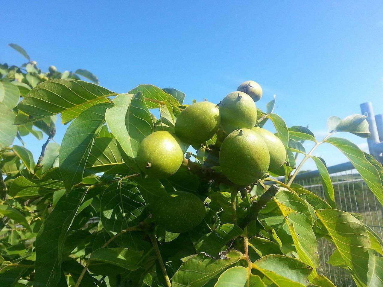 Закладка грецкого ореха и уход за ними — портал ореховод