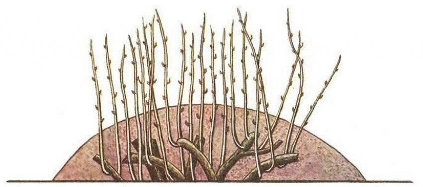 Размножение фундука: способы, как правильно размножить лещину