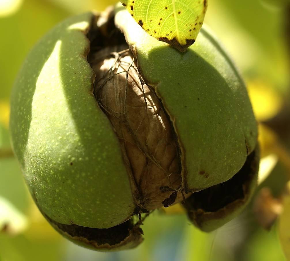 Размножение орехов: грецкого, черного и сердцевидного   сайт о саде, даче и комнатных растениях.