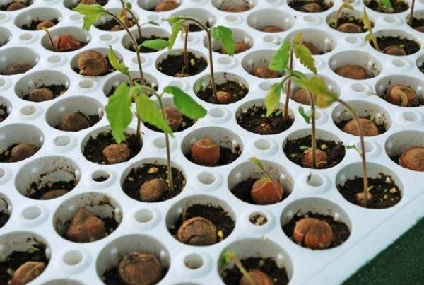 Корокия кизильниковая: содержание, уход и размножение в домашних условиях | садоводство и огородничество