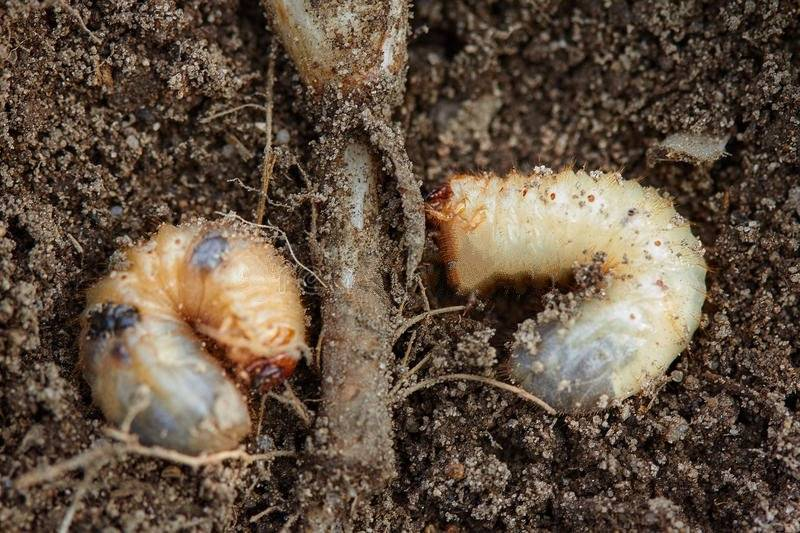 Самые опасные вредители корней растений: дождевой червь, долгоножки, проволочники и другие