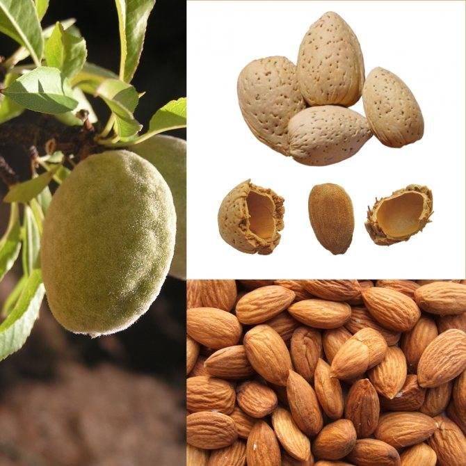 Миндаль или фундук: что полезнее и лучше для организма, есть ли, кроме пользы, противопоказания у ореха и косточки, в чем их вред?