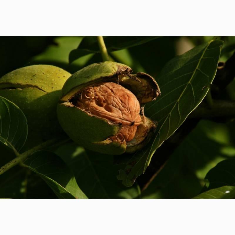 Интродукция и селекция ореха грецкого в воронежской области