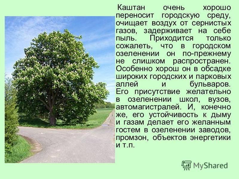 Съедобный каштан: где растут в россии и как выглядят
