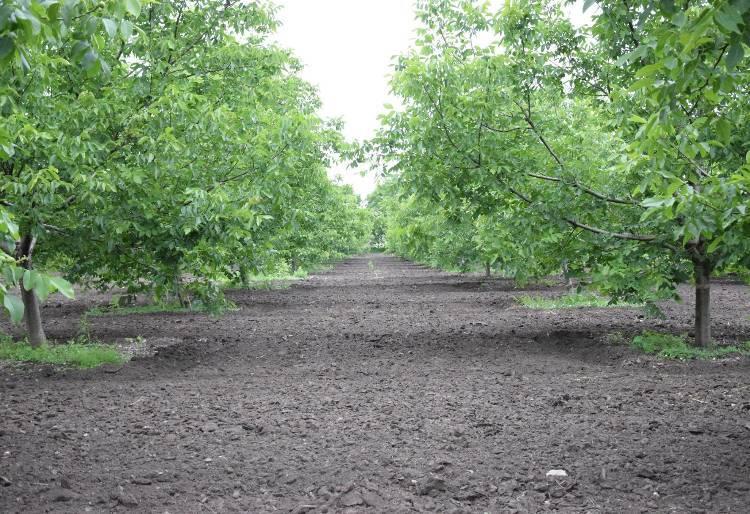 Какую прибыль может дать ореховый сад: бизнес план