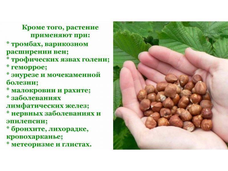 Лист орешника: полезные свойства и противопоказания при простатите и лучшие рецепты с листьями лещины