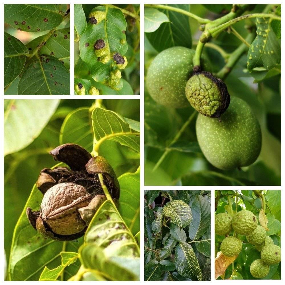 Почему чернеют грецкие орехи и другие болезни дерева, а также их лечение