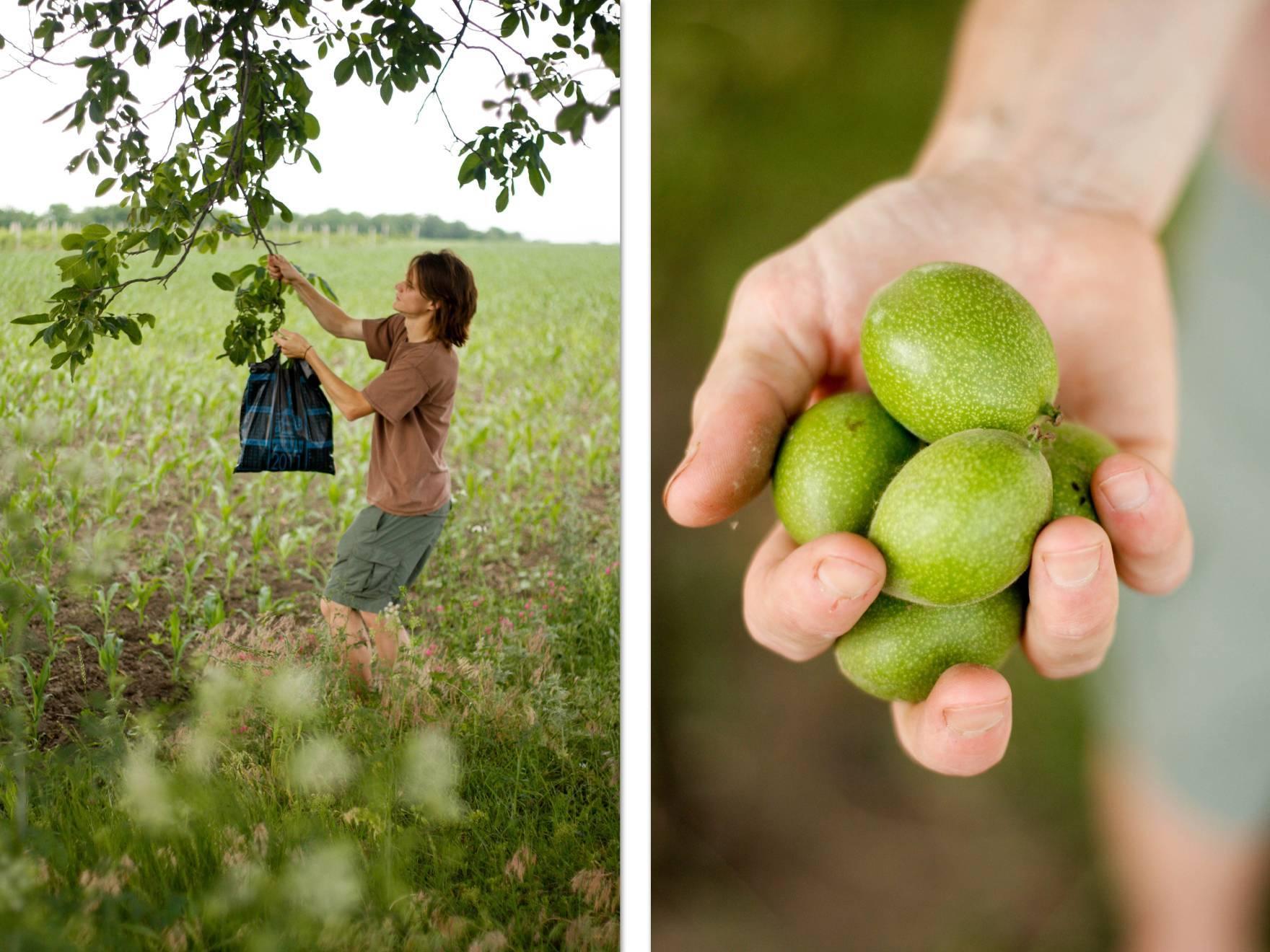Почему грецкий орех сбрасывает плоды и как это предотвратить? Как использовать зеленые орешки?