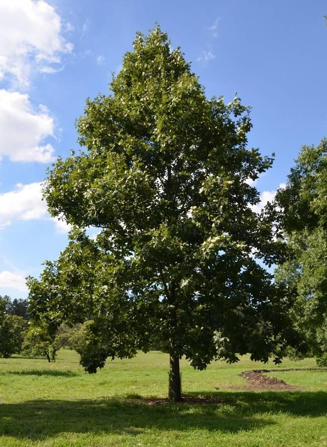 Американское ореховое дерево гикори: описание, виды, нюансы выращивания
